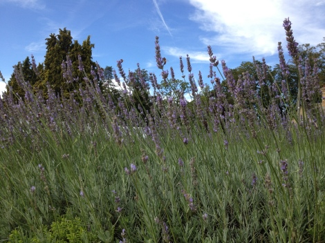 Lavender fields in England, great for attracting bees and used in a variety of ways in the home and in the kitchen.