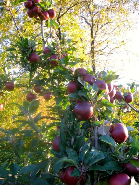 Apple picking in Massachusetts.